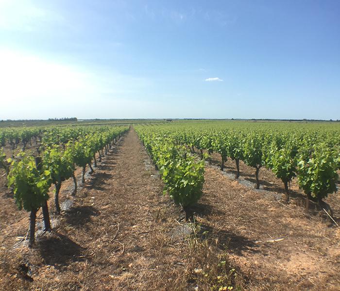 une balade entre les vignes près de Vauvert