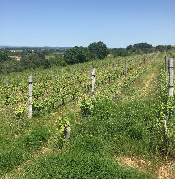 une balade vigneronne et gastronomique entre les vignes à Nîmes