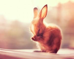 le lapin fait sa toilette