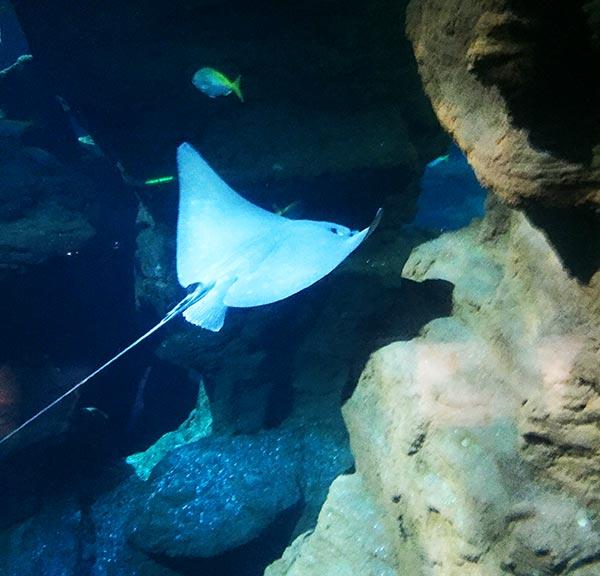 les raies partagent le bassin des requins au planet océan montpellier