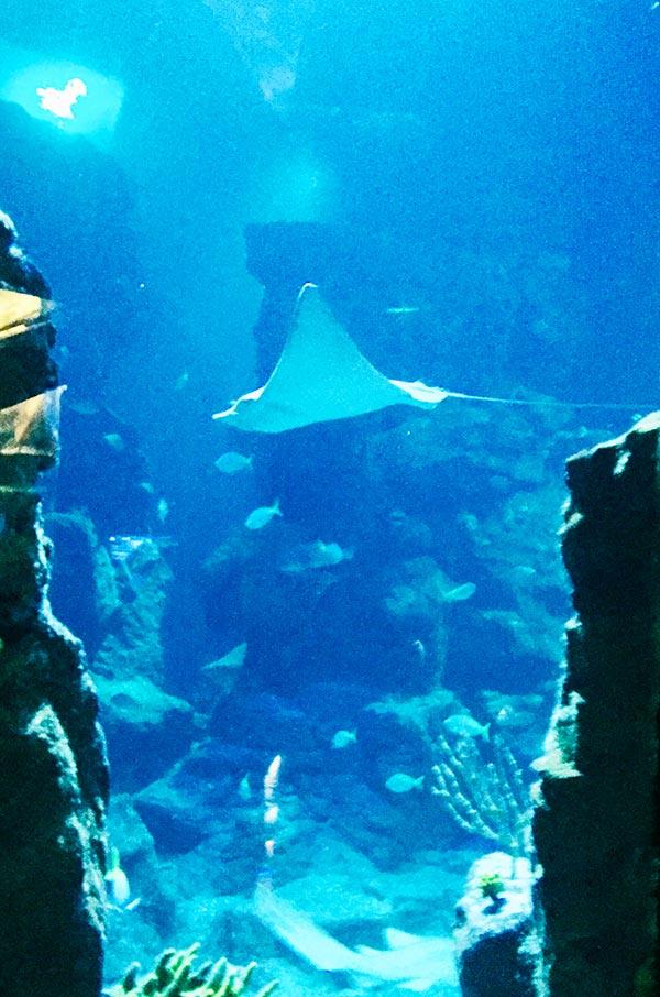 les raies nagent majestueusement au milieu des autres poissons et requins au planet océan montpellier